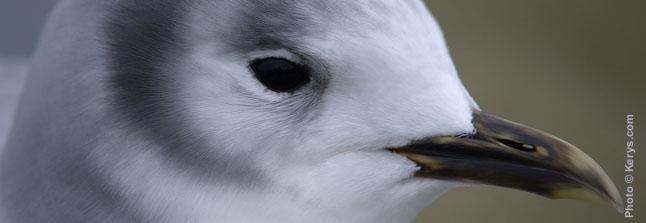 Mouette rieuse -